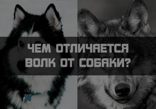Чем отличается волк от собаки?