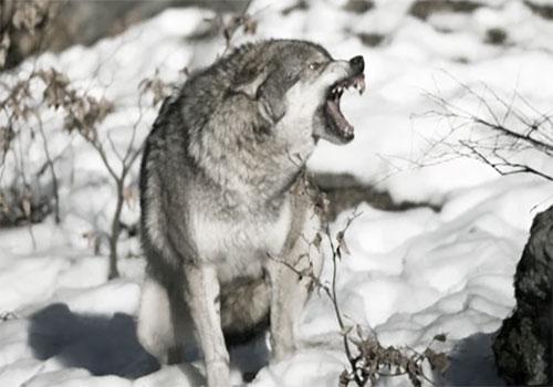 Страшный и опасный лесной хищник