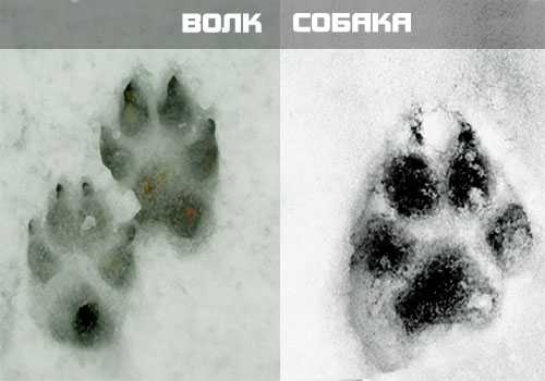 След собаки справа, волка - слева