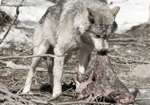 Санитар леса обедает