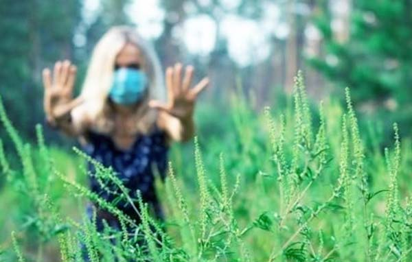 аллергия на амброзию - остановись