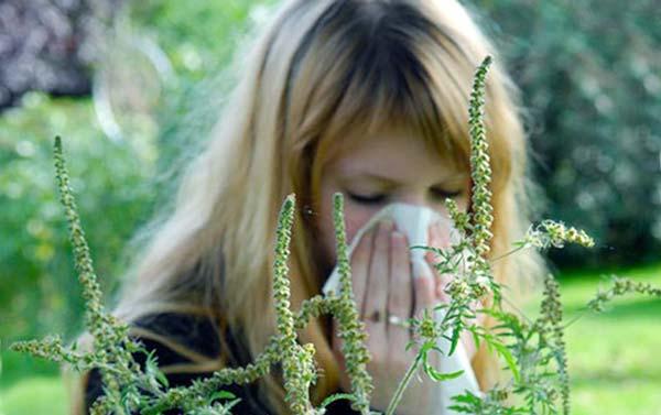 Цветение амброзии в Крае Краснодарском