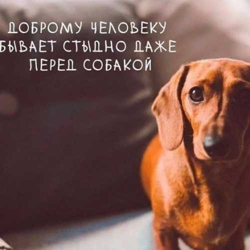 Верный пес-такса
