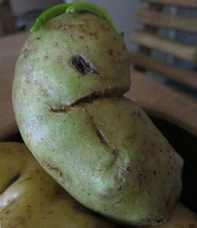 Картофель с соланином