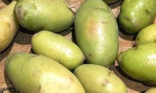 Позеленевший корнеплод