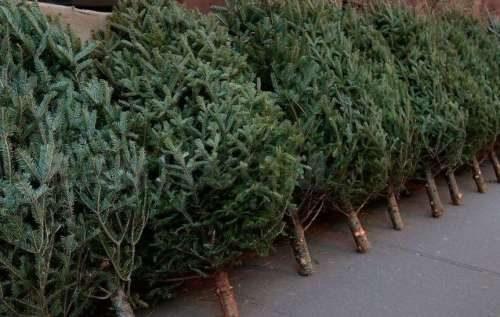 новогодняя елка живая расслаивается ствол