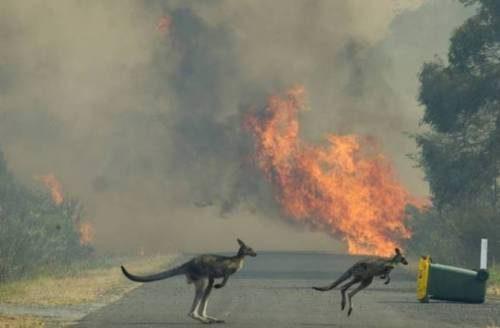Пожары в Австралии   кенгуру спасаются