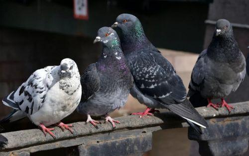 Городские птицы сидят на перилах
