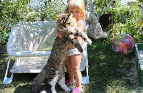 Мейн кун с девочкой на даче