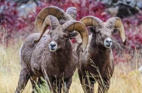 Три барана в природе